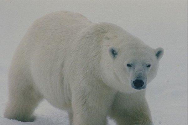 Churchill, grad polarnih medvjeda